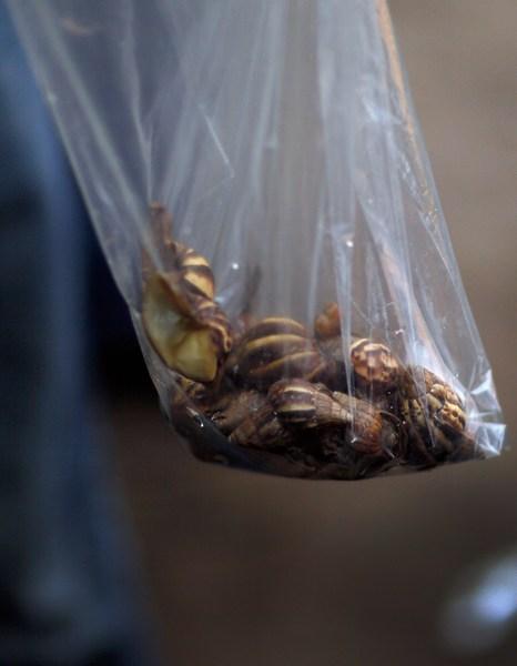 Виловлені равлики. Фото: Joe Raedle/Getty Images