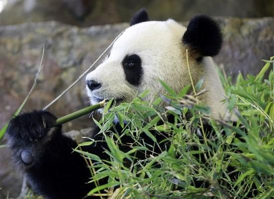 Фото: Найбільш рідкісні тварини: Бамбуковий ведмідь – панда/Getty Images