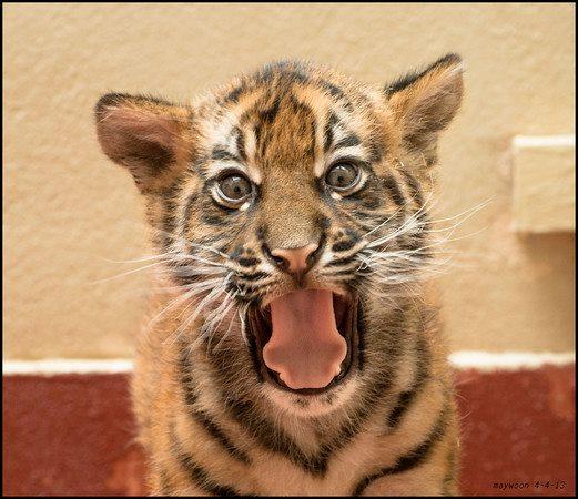 Я — тигр! Фото: May Woon/sanfranzoo/facebook.com