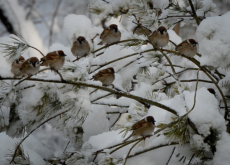 Пекін, Китай, 20 березня. Птахи сидять на засипаних снігом гілках дерев. Північ країни переживає найхолоднішу зиму за останні 30 років. Фото: MARK RALSTON/AFP/Getty Images