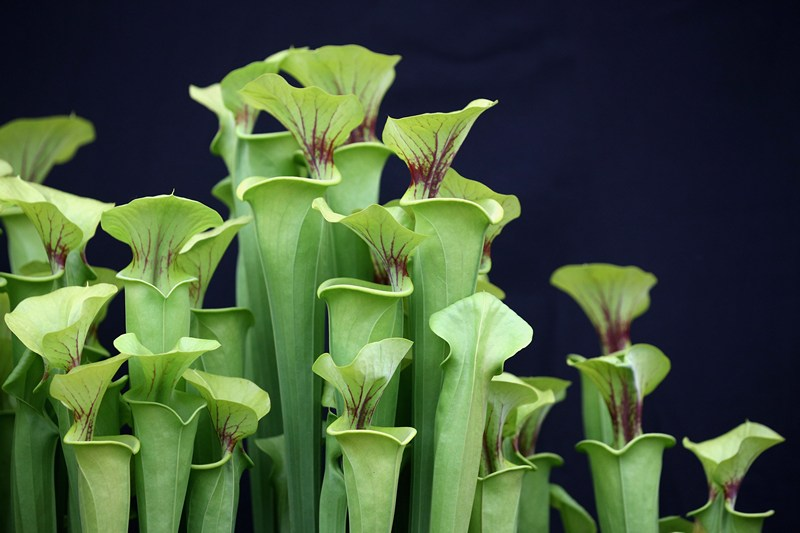 Насекомоядные растения на стенде хищных растений от компании Hewitt-Cooper. Фото: Oli Scarff/Getty Images