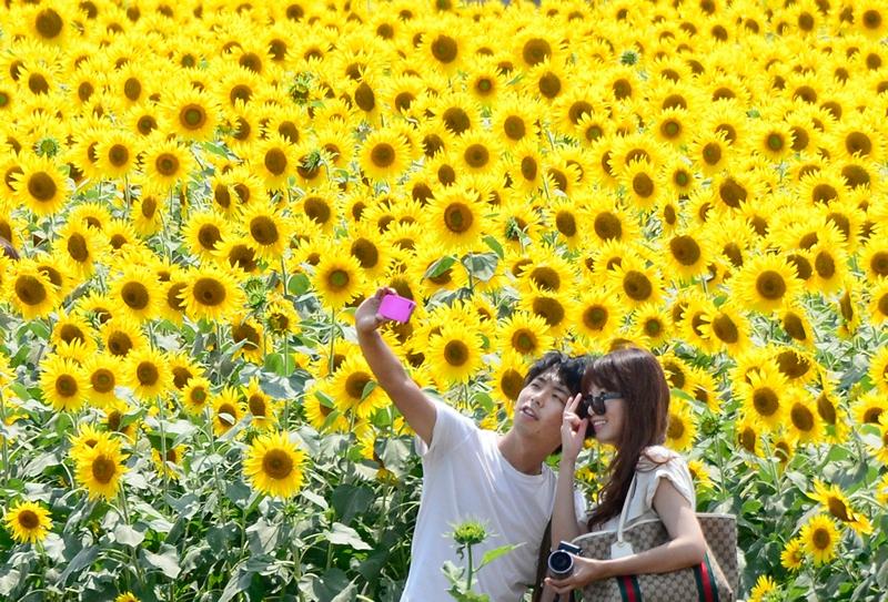 Зама, Япония, 27 июля. Молодые люди фотографируются на поляне цветущих подсолнухов. Фото: TORU YAMANAKA/AFP/Getty Images