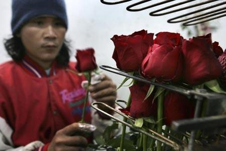 Работник сортирует свежесрезанные розы, затем цветы упакуют и доставят грузовым самолетом в Европу. Фото: David Silverman/Getty Images
