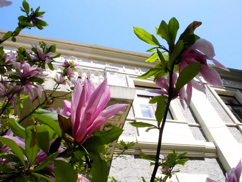Весняна Ялта. Магнолія. Фото: Алла Лавриненко/Велика Епоха