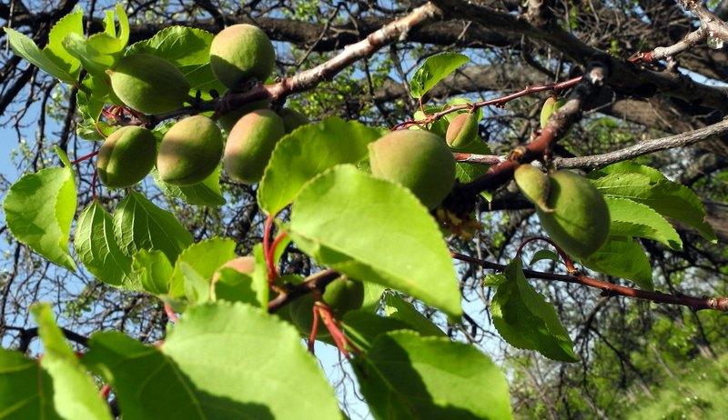 У парку Учкуївка, Севастополь, зріє абрикос. Фото: Алла Лавриненко / EpochTimes.com.ua