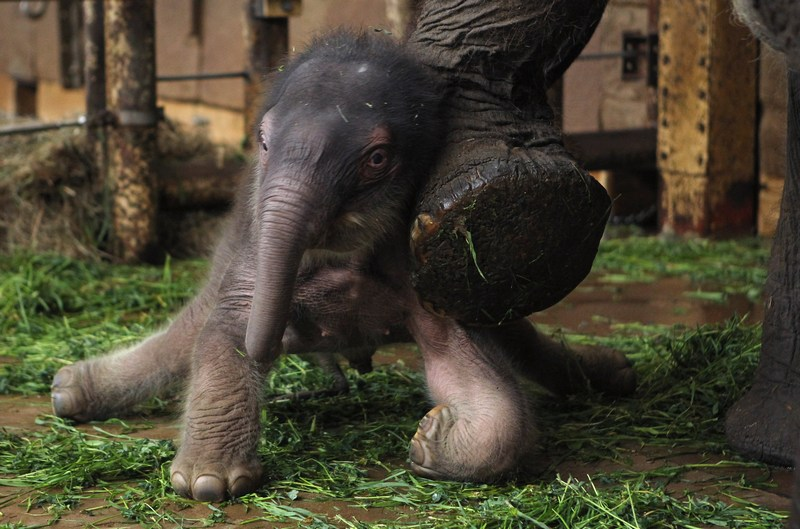 Без допомоги мами-слонихи малюкові поки важко втриматися на ногах. Фото: Sean Gallup/Getty Images