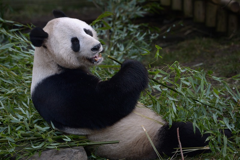 Едінбург, Шотландія, 20 лютого. Панда Ян Гуан їсть бамбук. У великих панд, що живуть у місцевому зоопарку, настає сезон розмноження. Фото: Jeff J Mitchell/Getty Images