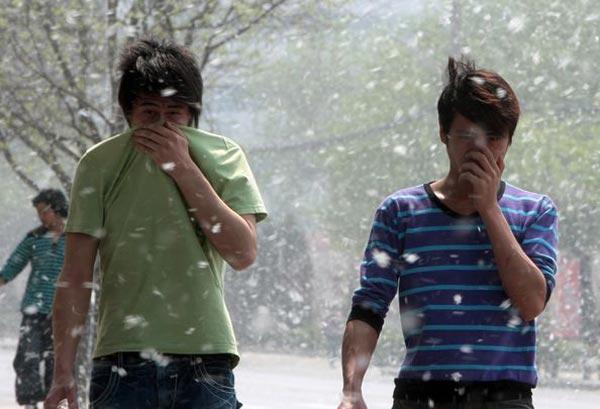 Тополиный и ивовых пух доставляет много хлопот пекинцам. 13 апреля. Пекин. Фото: AFP