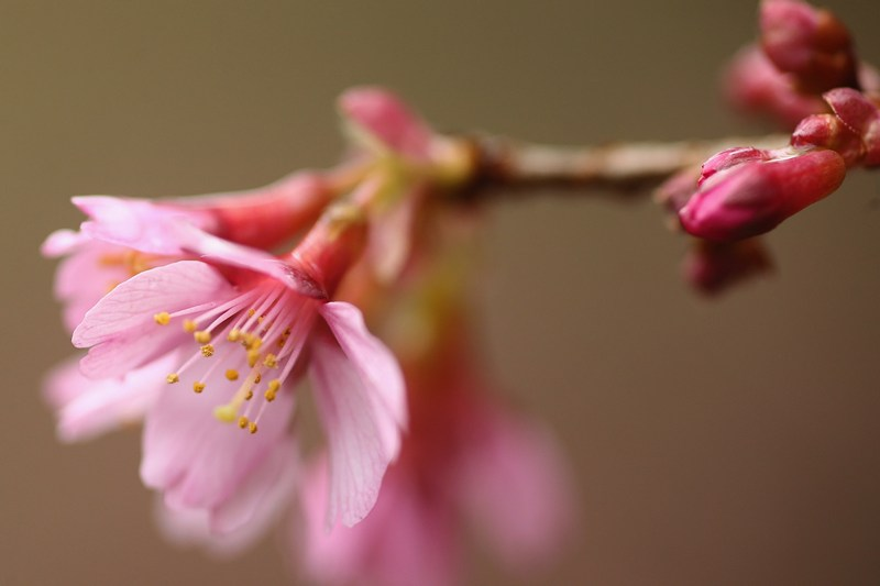 Цветущая вишня. Фото: Dan Kitwood/Getty Images