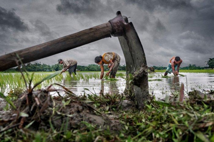 Переможець фотоконкурсу, «Оброблення рису», Сучжан Саркар, Індія. Фото: photocontest.cgap.org
