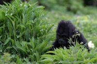 фото гориллы