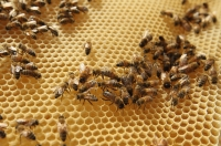 Мед+пчелы