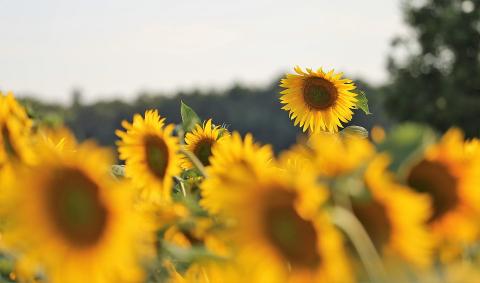 Солнечный цветок. Подсолнух для детей