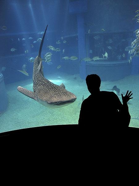 Самая большая в мире рыба в Осакском аквариуме.