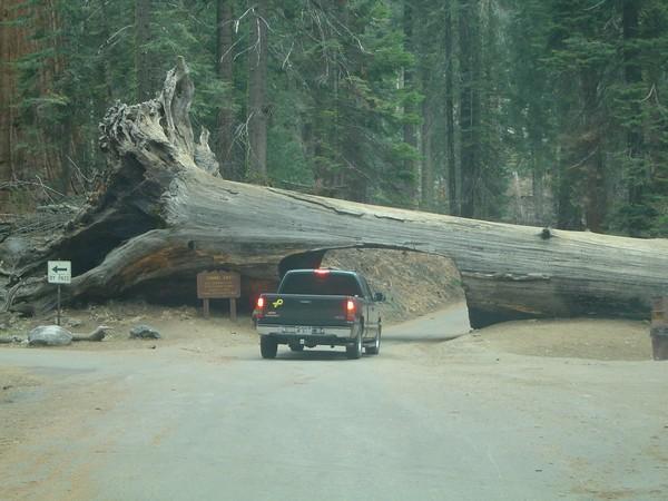 Туннель в дереве, Калифорния, США. Фото: public-domain-images.blogspot.com