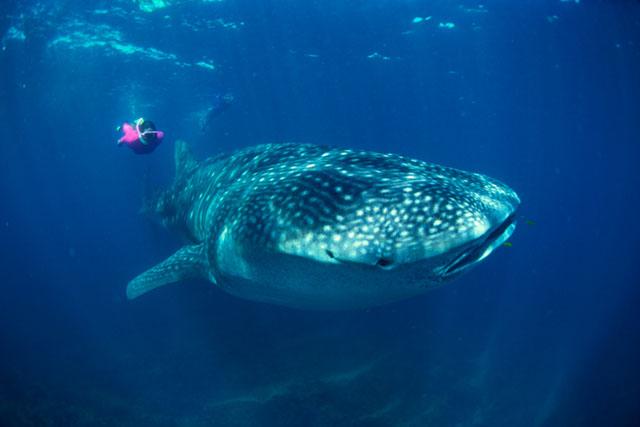 Сноркелинг с самой большой в мире рыбой — китовой акулой.