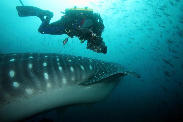 Окрас самой большой в мире рыбы — китовой акулы.