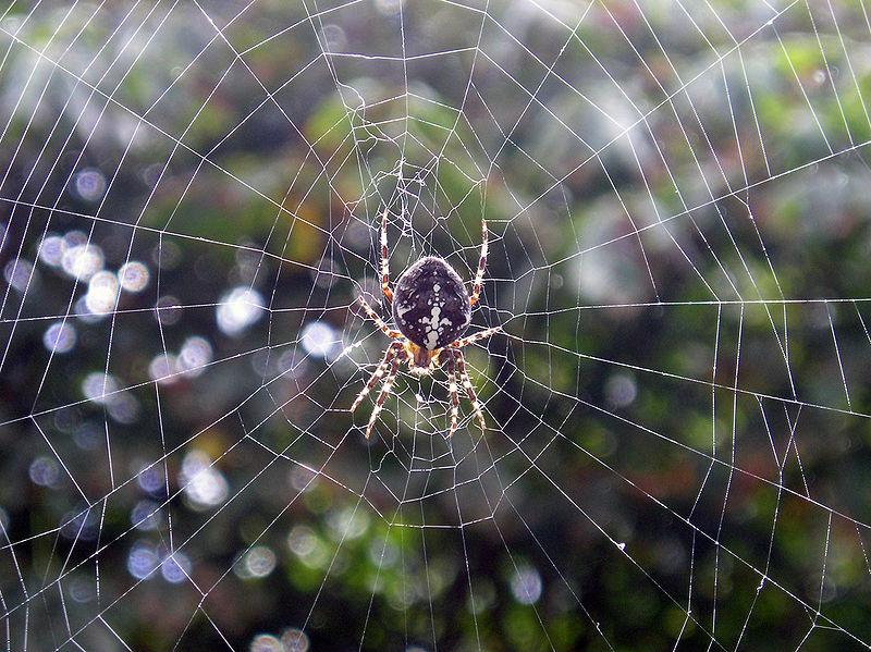 800px-Spider_vdg.jpg
