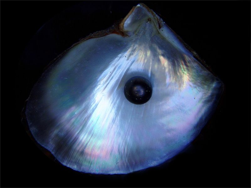 800px-Black_pearl_and_his_shell.jpg