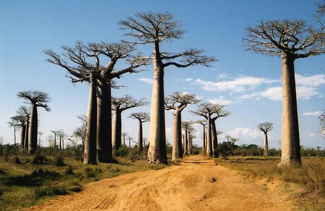 Найбільші острови світу: Мадагаскар, алея баобабів. Фото: tamataviaggi.it