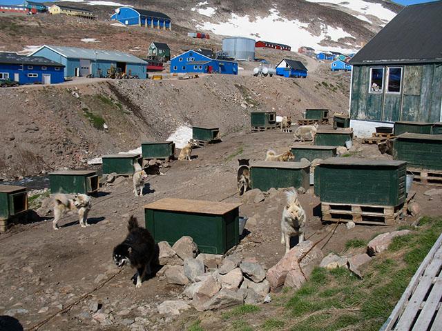 Жители Гренландии передвигаются на собачьих упряжках.