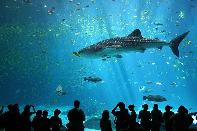 Самая большая в мире рыба — китовая акула.