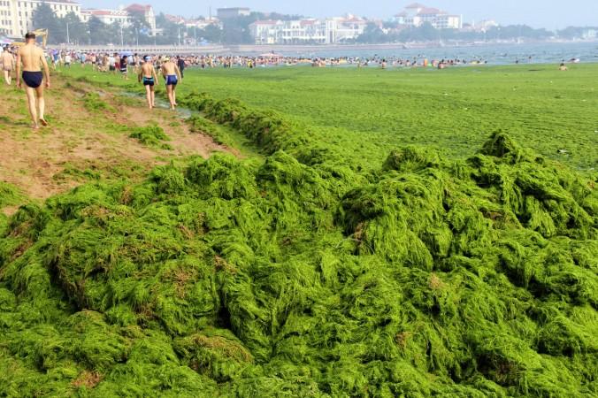 Китайские отдыхающие ходят по побережью, устланному водорослями на общественном пляже в городе Циндао провинции Шаньдун. Фото: STR/AFP/Getty Images