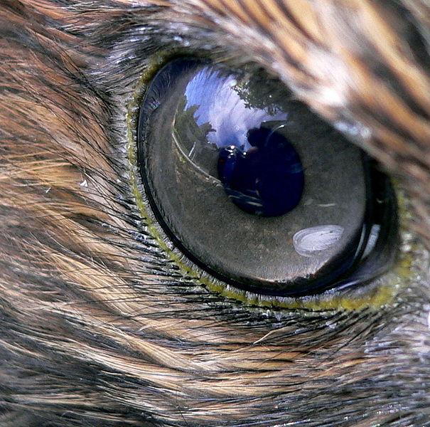 Hawk_eye.jpg