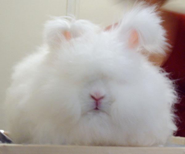 Невероятные факты: ангорский кролик — самый пушистый в мире.