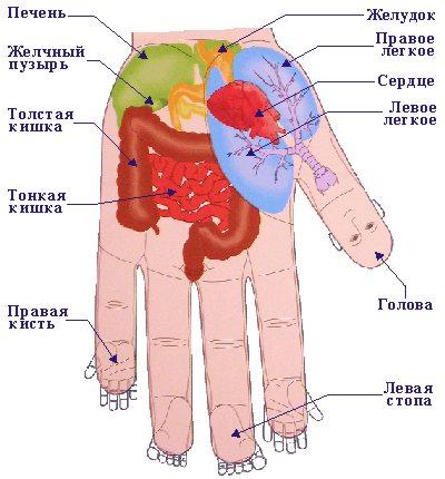 Внутренние органы в системе соответствия кисти. Фото: center-hc.ru